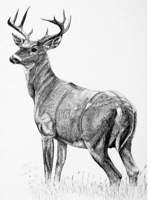 Yessy Gt Roberta Ekman Gt Gallery Gt White Tail Deer
